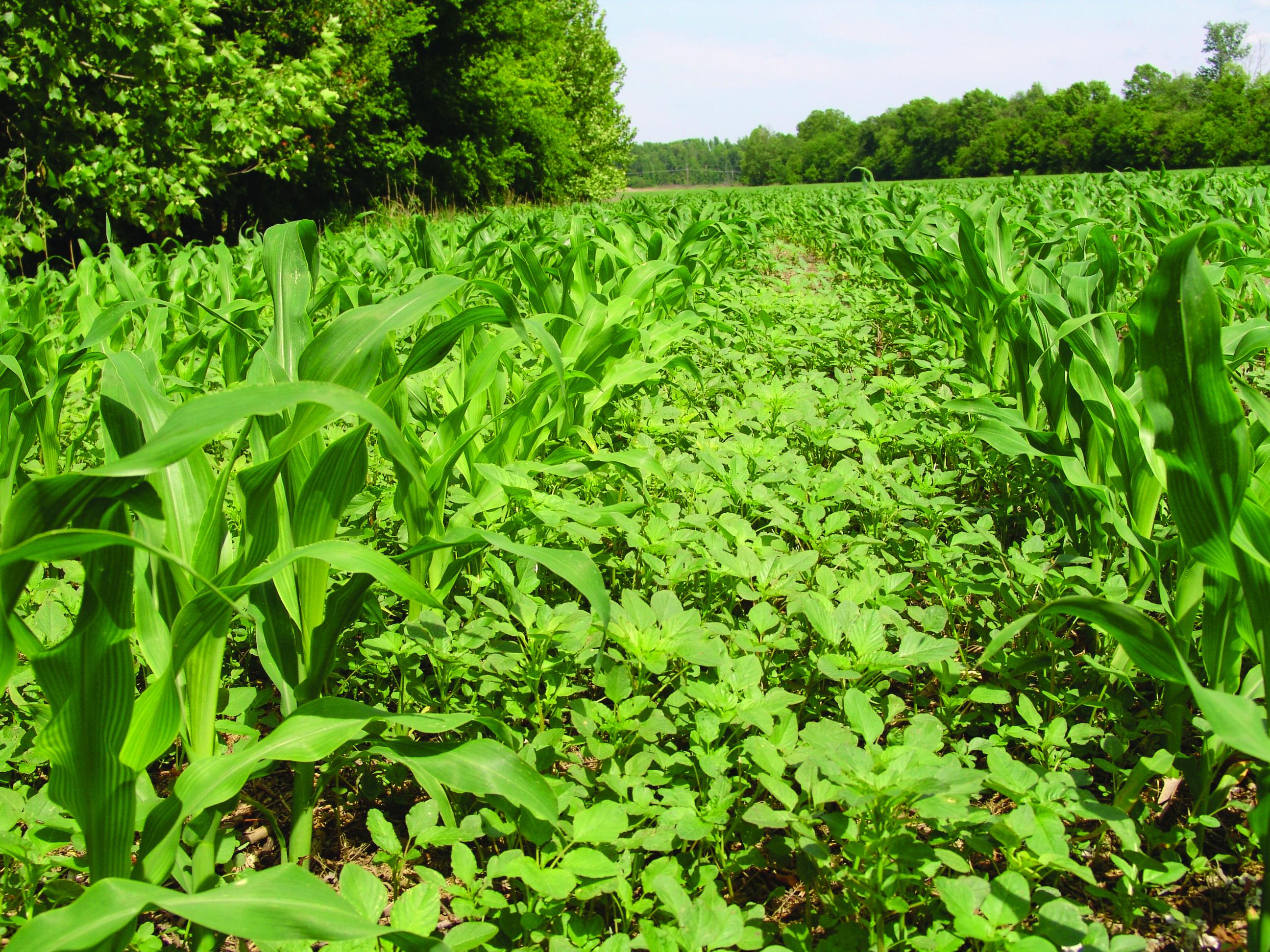 Післясходовi гербіциди для кукурудзи за американським досвідом