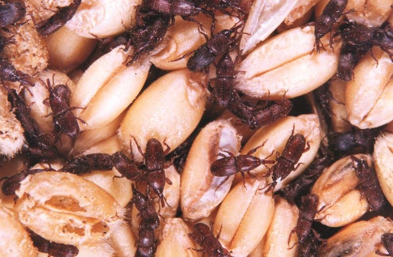Мікроорганізми та шкідники – «мешканці» зернової маси